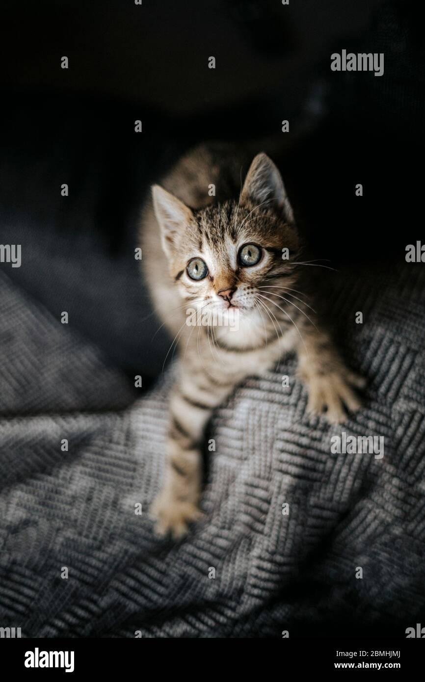 muy lindo gato gatito joven sostenido en la palma de una mano mirando directamente a la cámara con enormes ojos hermosos Foto de stock