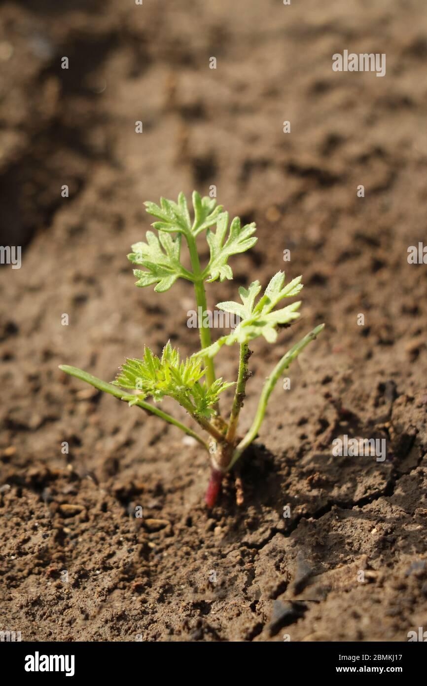 Planta De Zanahoria Joven En Un Campo Fotografia De Stock Alamy Pasos a seguir para germinar zanahoria sin semilla. https www alamy es planta de zanahoria joven en un campo image356931715 html