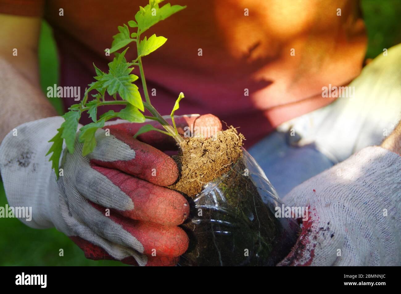 Plantando a mano en el jardín de la casa. Jardinería orgánica y un estilo de vida saludable. El hombre cuida de una pequeña planta de semillero. Foto de stock