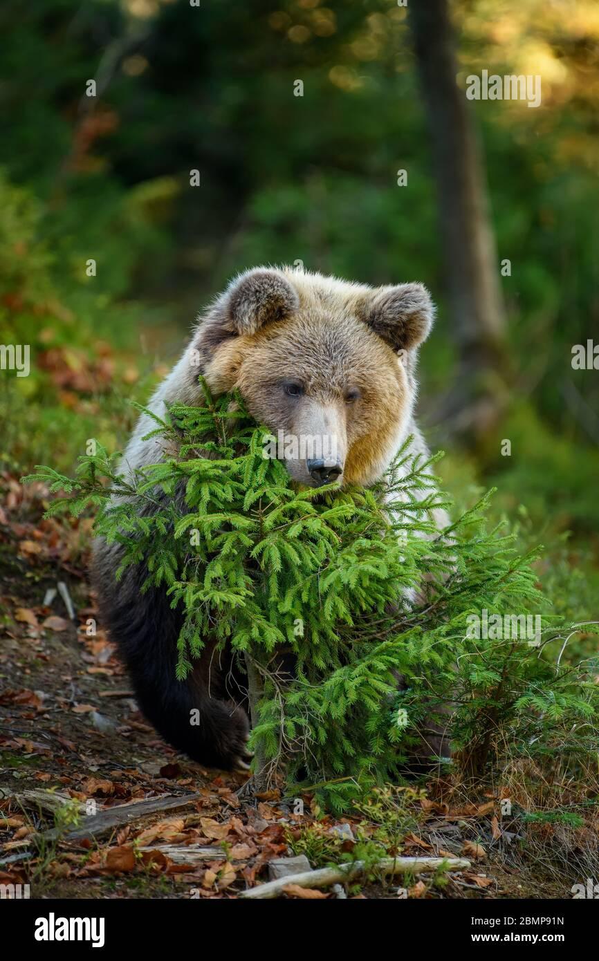 De cerca oso marrón grande en el bosque. Animal peligroso en el hábitat natural. Escena de la fauna silvestre Foto de stock