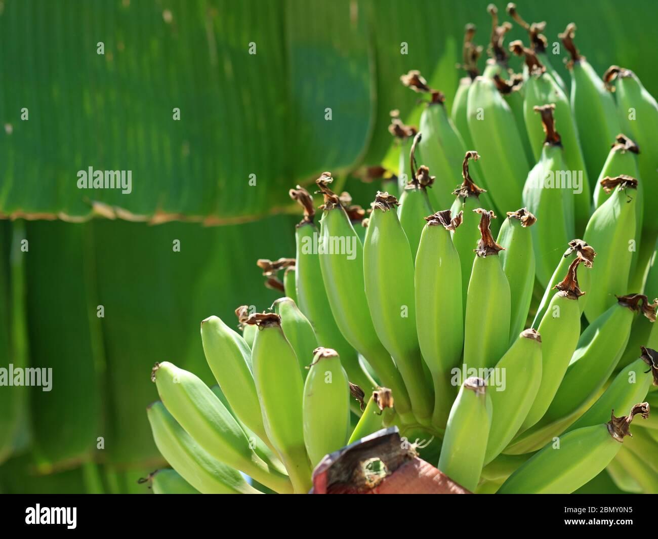 Plátanos verdes jóvenes en Musa x paradisiaca, postre plátano, de cerca Foto de stock