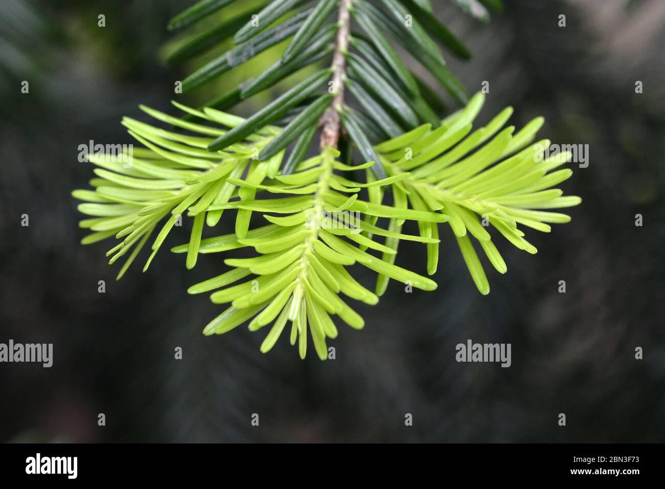 coníferas ramas de árboles, brotes. Brotes verdes jóvenes coníferas agujas de ramas de árboles. Brotes de ramas de árboles de coníferas de crecimiento fresco . Foto de stock