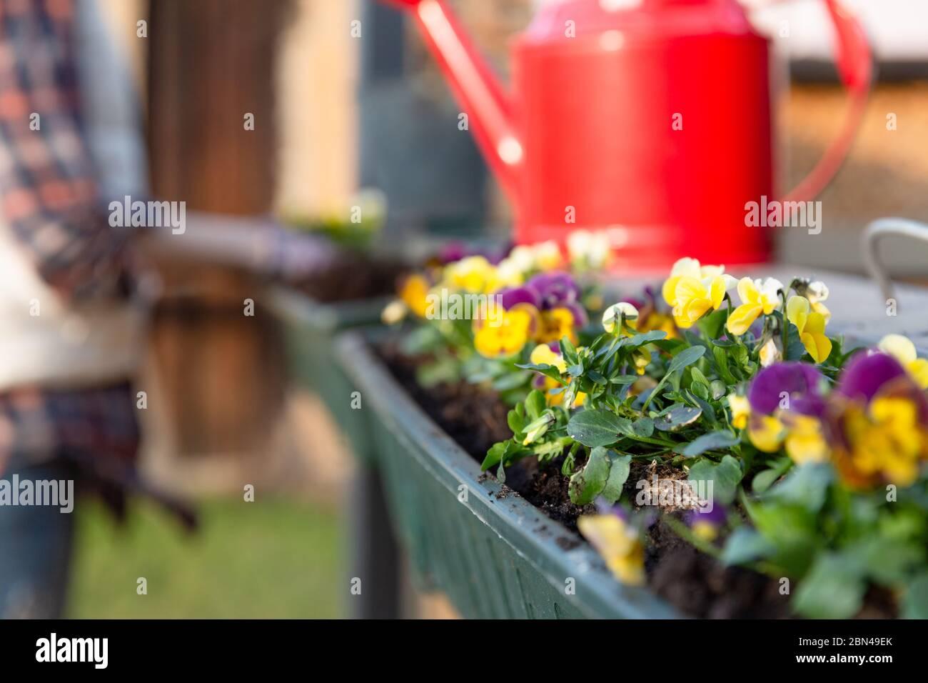 Jardineros manos plantar flores en maceta con tierra o suelo en contenedor en balcón terraza jardín. Concepto de jardinería Foto de stock