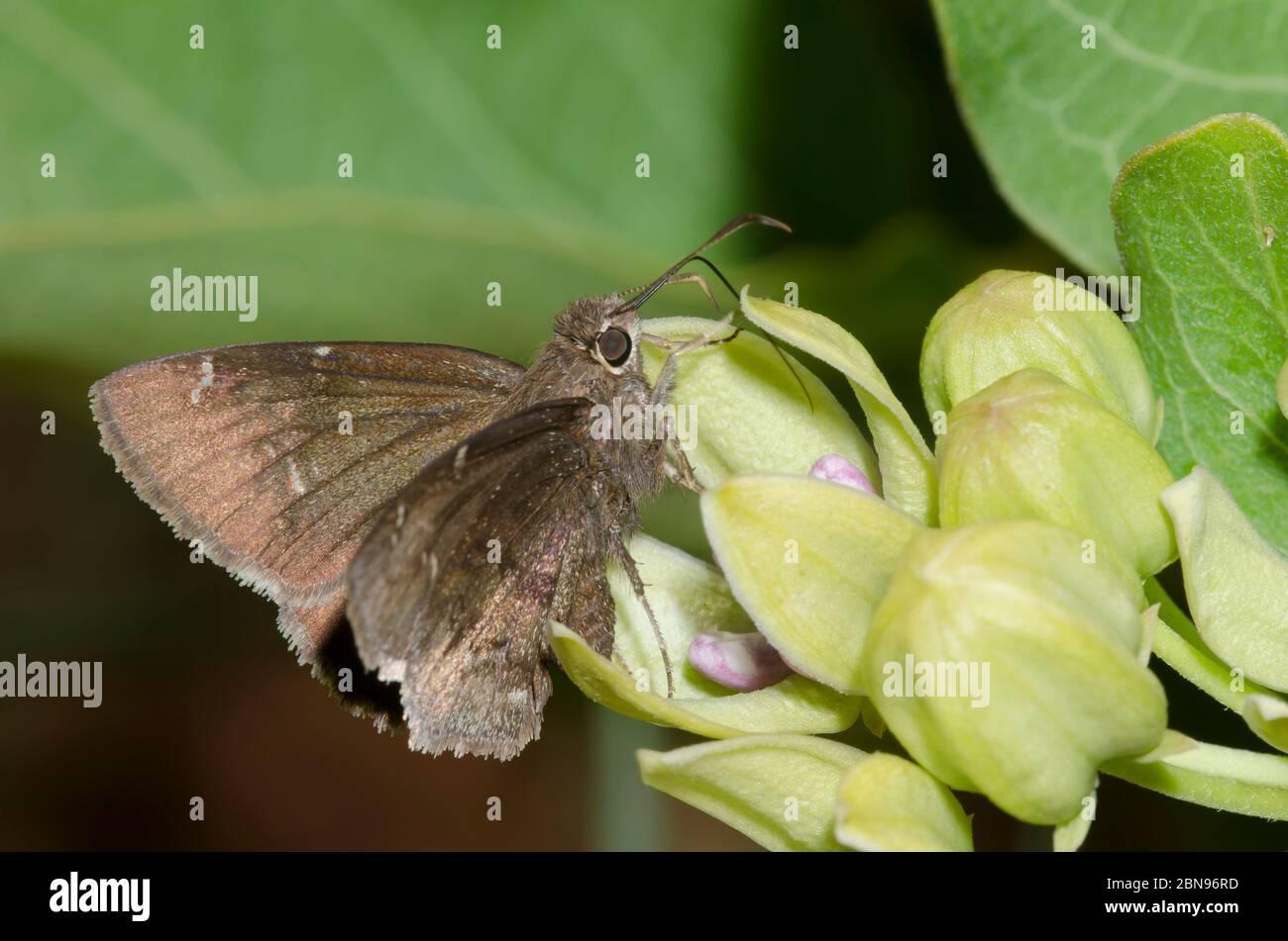 Confuso Cloucywing, Thorybes confusis, nectaring en verde milkweed, Asclepias viridis Foto de stock