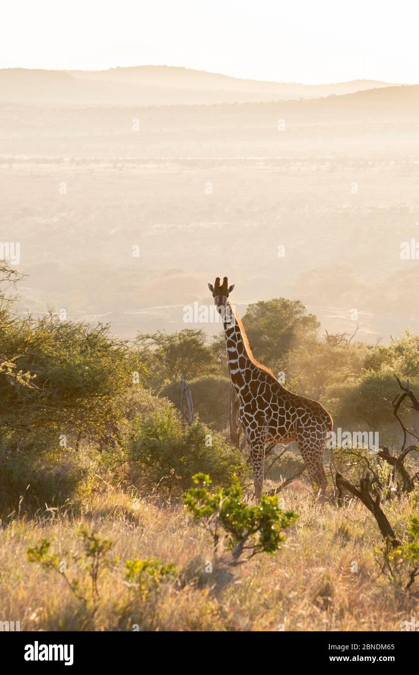 Giraffe reticulada (Giraffa camelopardalis reticulata) en un hábitat árido de matorrales al amanecer. Laikipia, Kenia. Febrero. Foto de stock