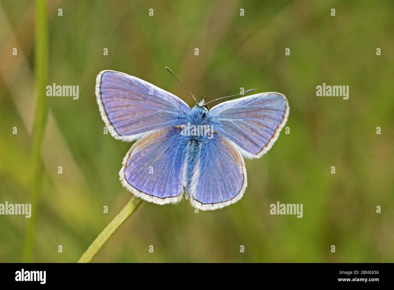 Mariposa azul común macho (Polyommatus icarus) Reserva Natural del Parque Sutcliffe, Londres, Eltham, Londres, Reino Unido. Agosto Foto de stock