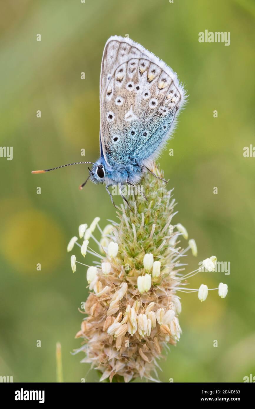 Mariposa común azul macho (Polyommatus icarus) Reserva Natural del Parque Sutcliffe, Londres. Junio Foto de stock