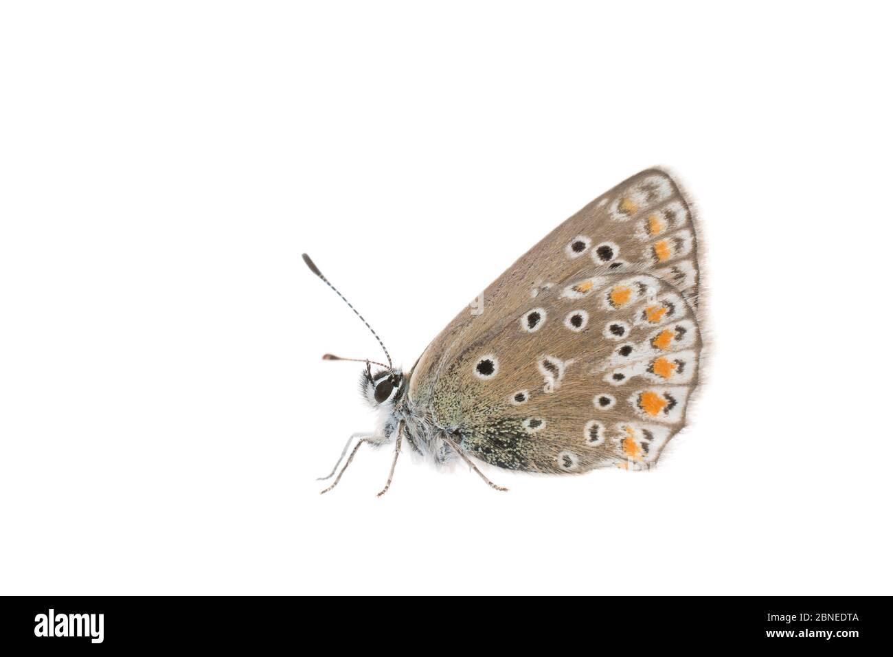 Mariposa azul común (Polyommatus icarus) hembra, Francia, mayo, Meetyourneighbors.net proyecto Foto de stock