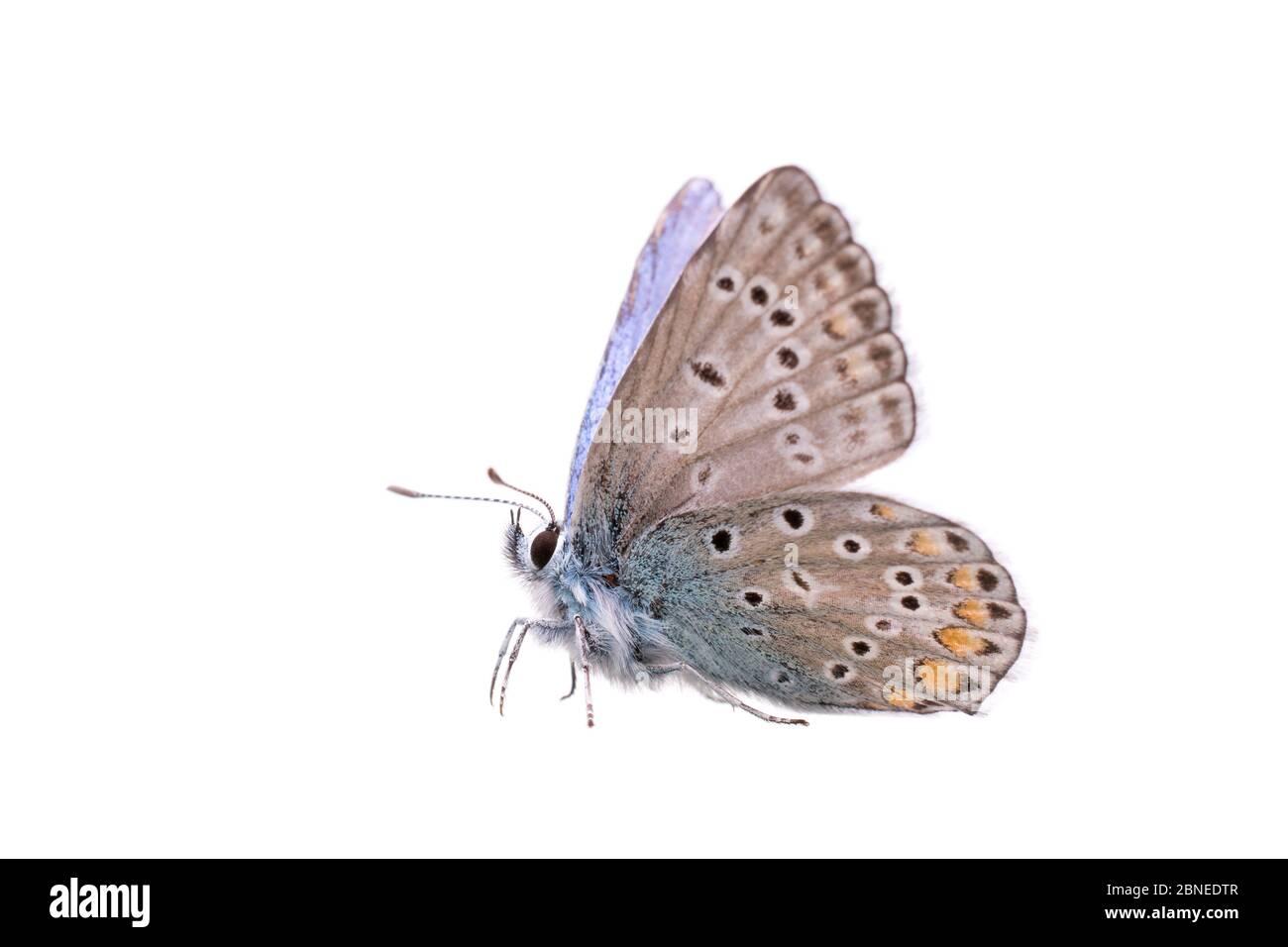 Mariposa azul común (Polyommatus icarus) macho, Francia, mayo de Meetyourneighbors.net proyecto Foto de stock