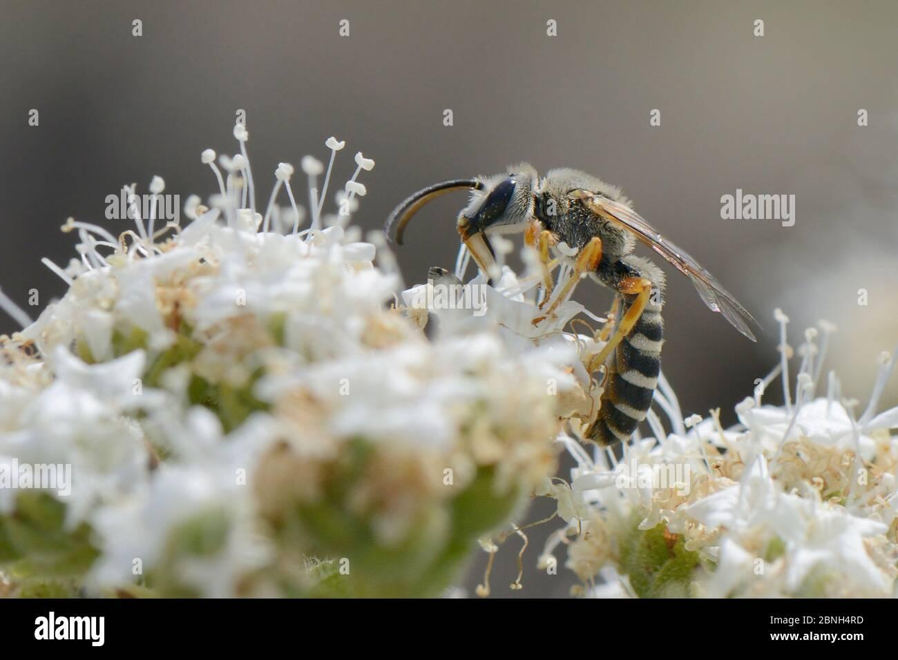 Abeja sudoríca (Halictus cf. Brunnescens) forrajeo femenino en el organo cretense (Origanum onites), Lesbos/ Lesvos, Grecia. Foto de stock