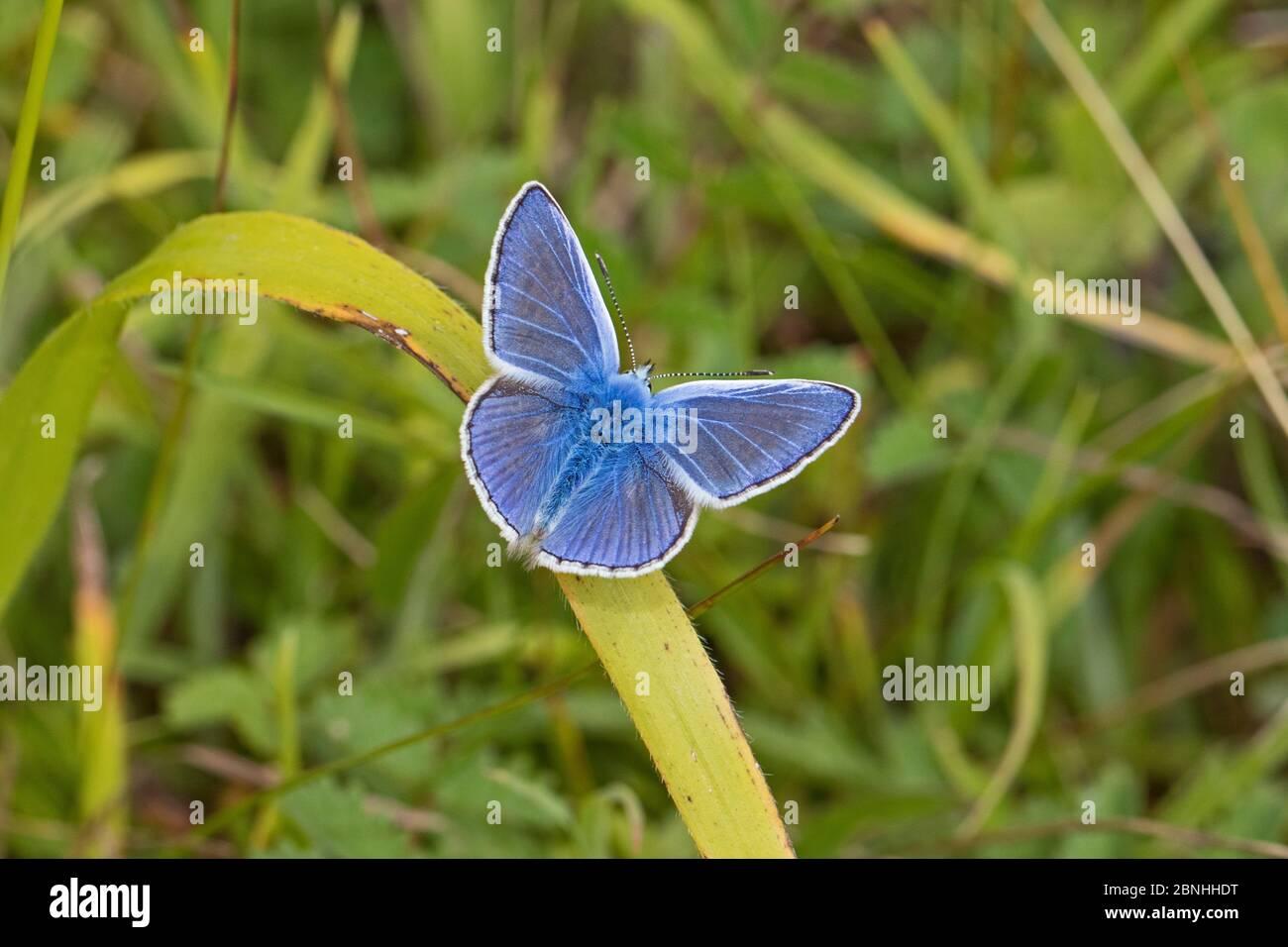 Mariposa azul común (Polyommatus icarus) Sutcliffe Parque Reserva Natural, Eltham, Londres, Reino Unido. Julio. Foto de stock