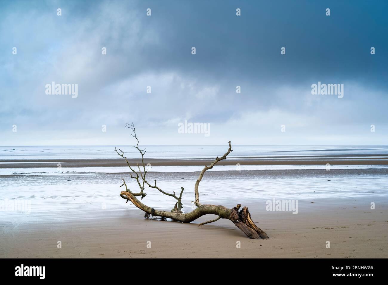 Driftwood - imagen gráfica de rama muerta arrastrada por el mar del Canal de Bristol a la playa de arena en Burnham-on-sea, Somerset, Reino Unido Foto de stock
