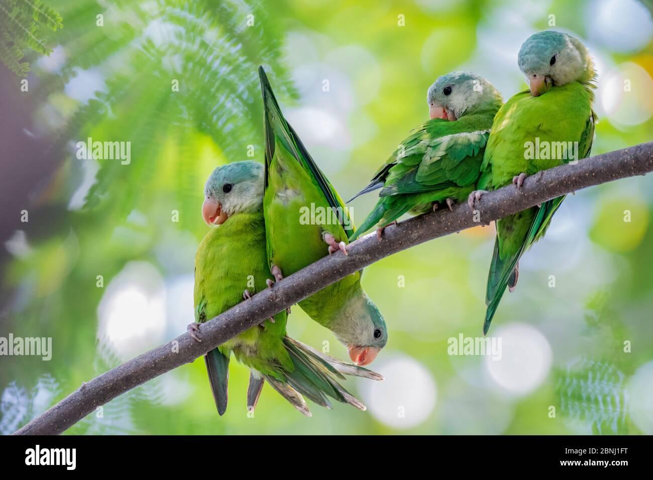Parakeets de queso gris (Brogeris pyrrrrhoptera) posados y arreglo personal en una rama. Guayaquil, Guayas, Ecuador. Foto de stock