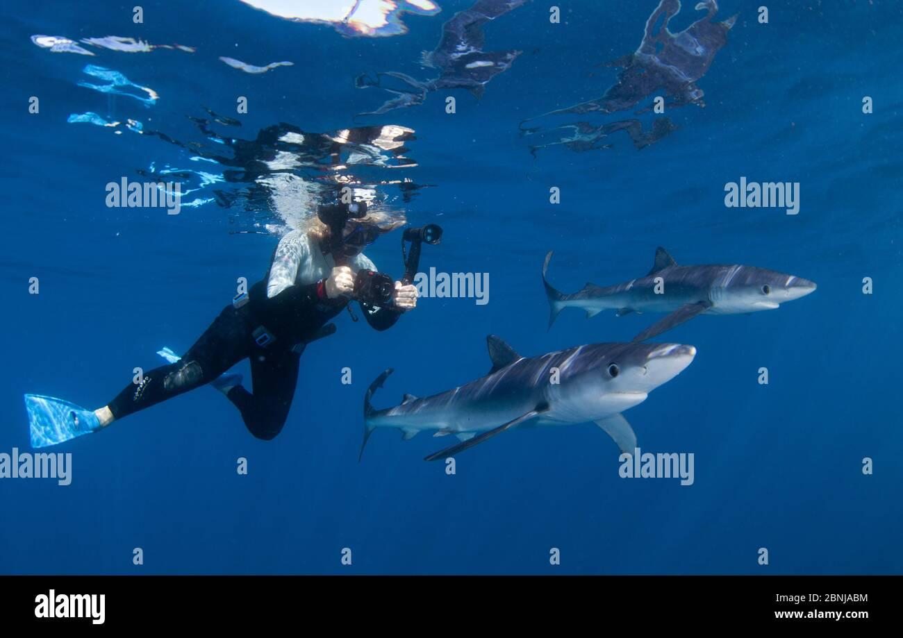 Tiburón azul (Prionace glauca), con buzo, Cape Point, Sudáfrica, febrero. Foto de stock