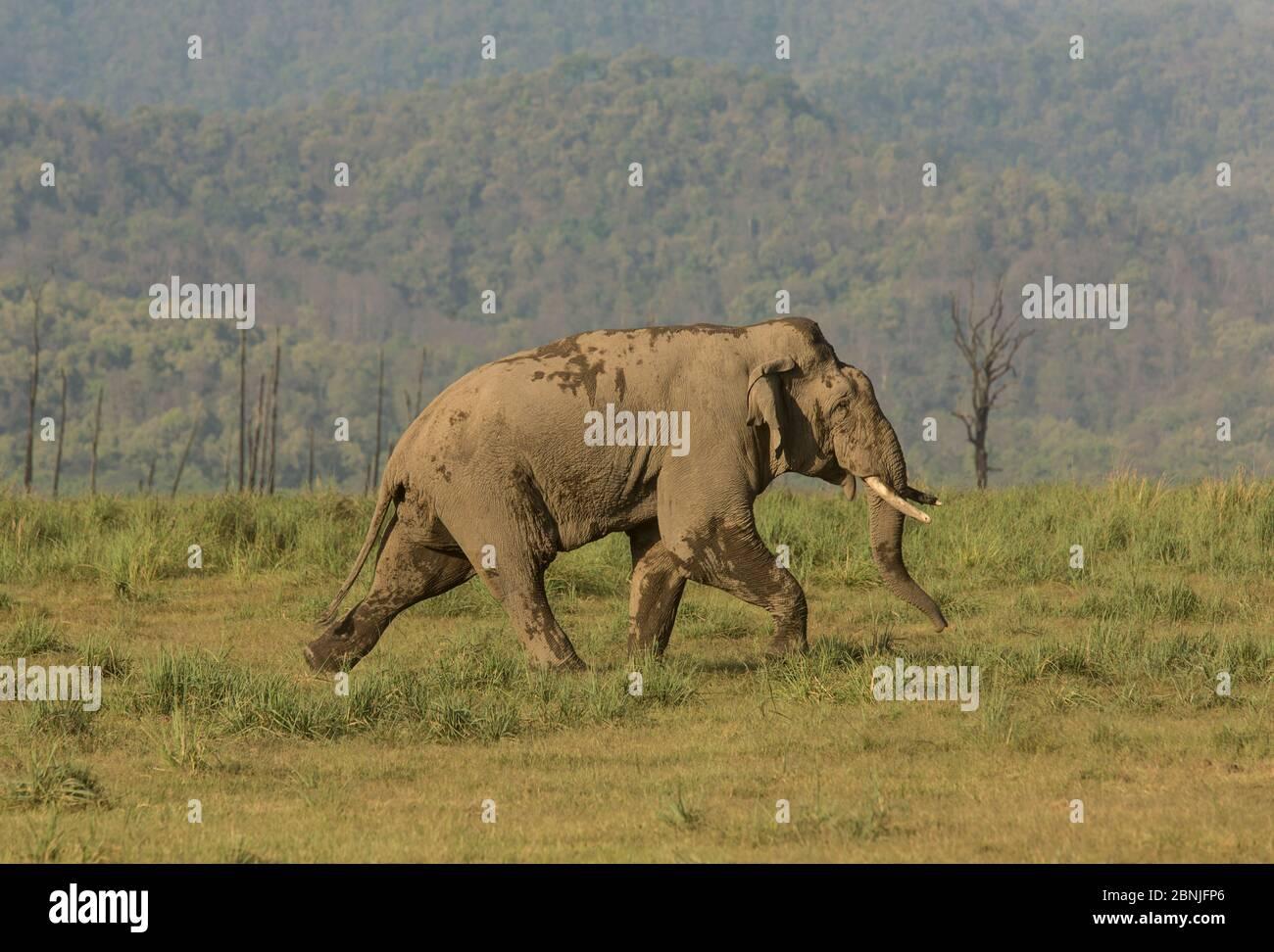 Elefante asiático (Elefas maximus) macho caminando agresivamente hacia el rival masculino. Jim Corbett National Park, India. Foto de stock