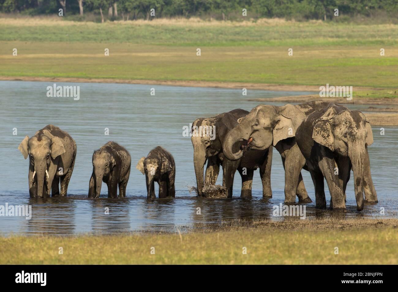 Elefante asiático (Elephas maximus), agua potable y baño familiar, Parque Nacional Jim Corbett, India. Foto de stock