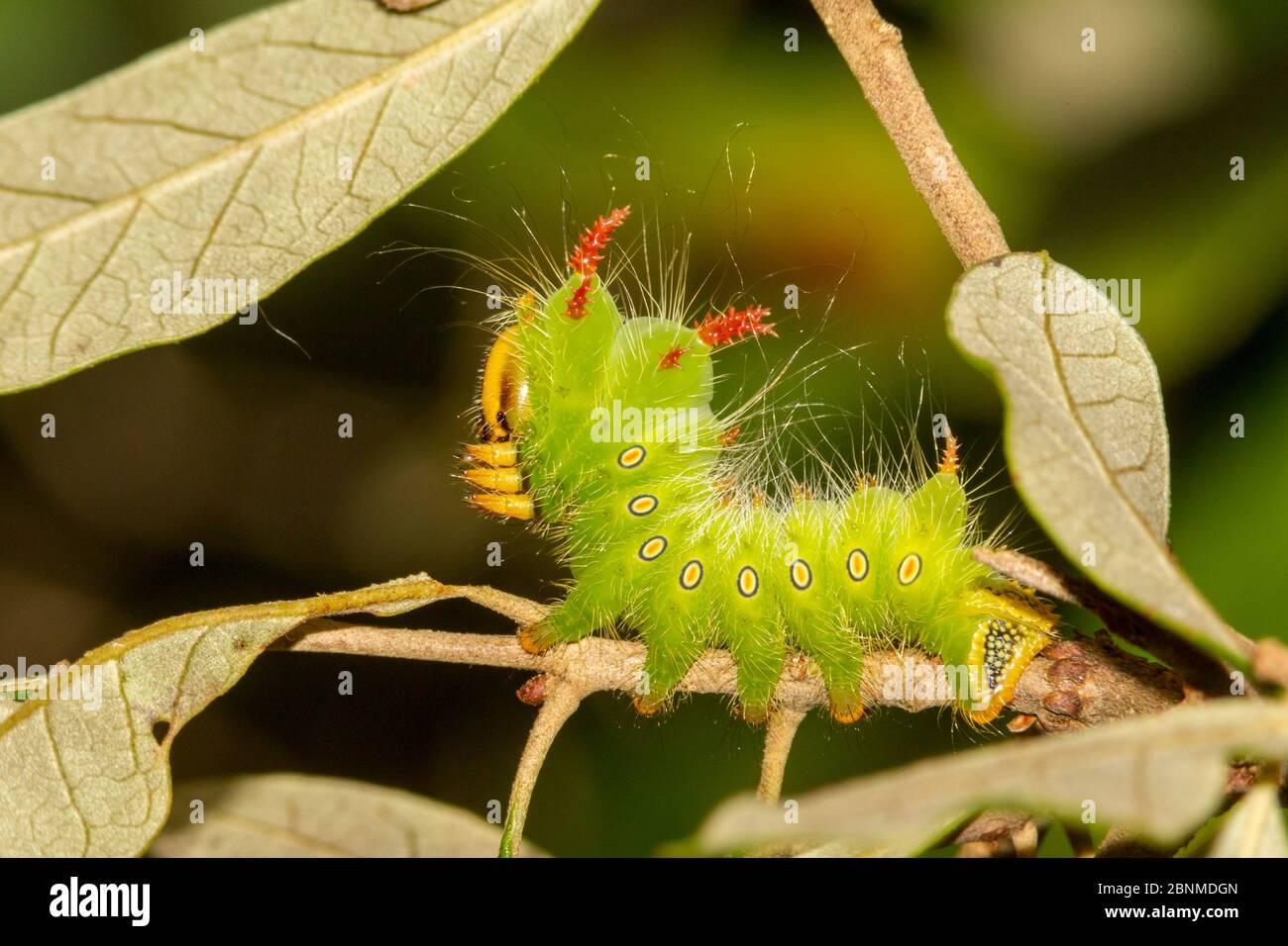 Oruga de la polilla imperial (Eacles imperialis), Condado de Orange, Florida, EE.UU. Septiembre Foto de stock