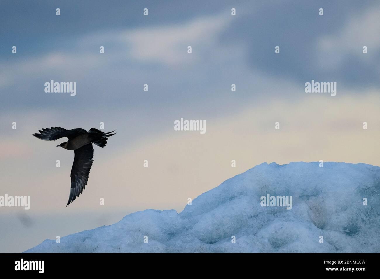 Skua ártica (Stercorarius parasiticus) en vuelo, Islandia, julio. Foto de stock