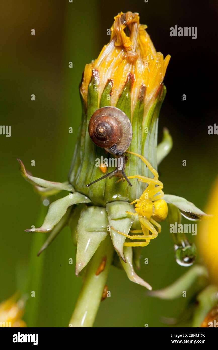 Araña de cangrejo (Misumena vatia) hembra amarilla, más caracol, en flor de diente de león después de la lluvia, Bristol, Reino Unido, mayo Foto de stock
