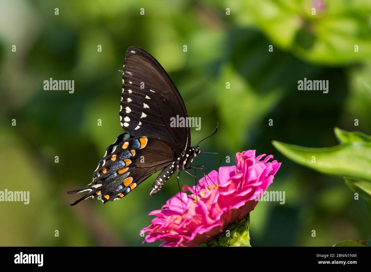 Mariposa de monte bajo (Papilio troilus) que se citea en Zinnia en el jardín de la granja, Connecticut, EE.UU Foto de stock