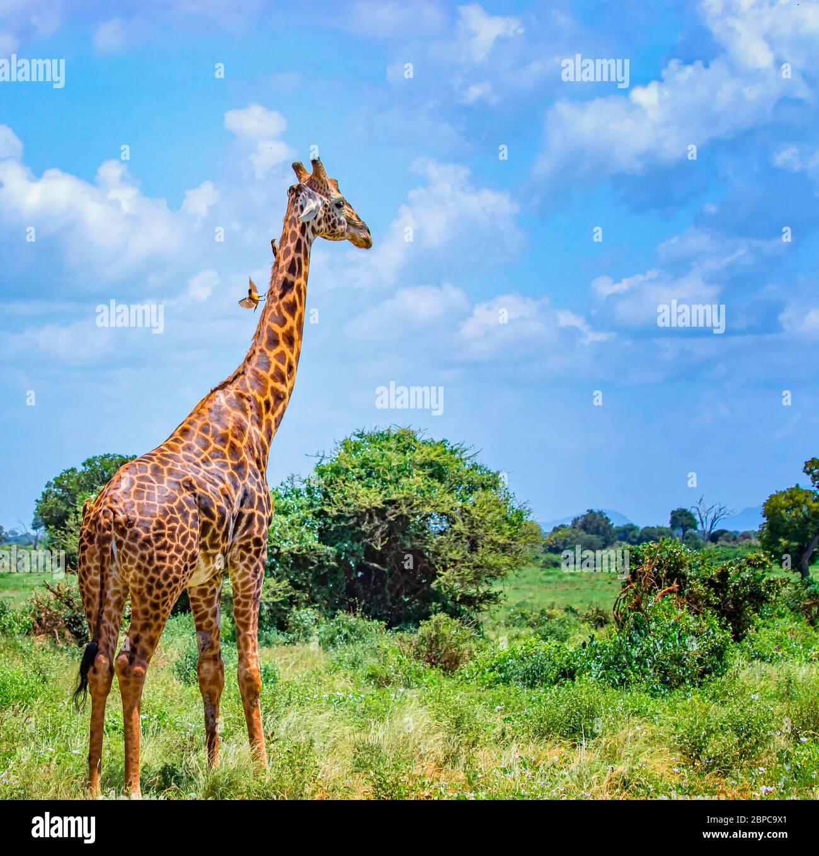 Jirafa de pie en hierba alta en el Parque Nacional Tsavo este, Kenia. Tiene pájaros pequeños en el cuello. Escondiéndose a la sombra bajo los árboles altos. Es un salvaje Foto de stock