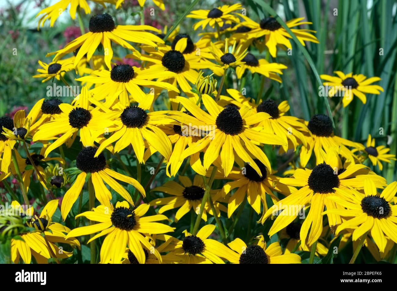 Sonnenhut Rudbeckia hirta Staudenpflanze;;; Foto de stock