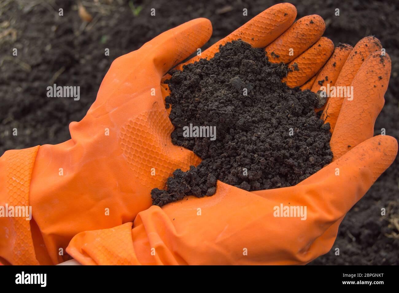 Las muestras de suelo en las manos de un biólogo en naranja guantes. Investigación del problema de la contaminación del suelo. Foto de stock