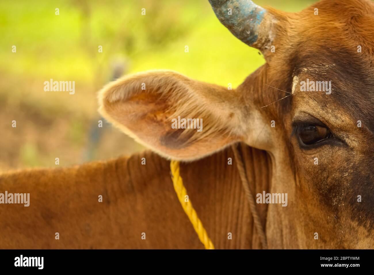 Retrato de cara de vaca de una vaca marrón con ojo abierto sharpe aislado sobre fondo verde. Foto de stock