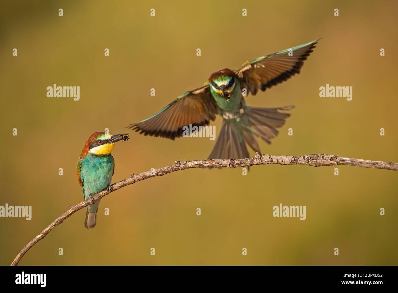 Par de unión abejarucos Merops apiaster, con una captura. Dos coloridas aves de aspecto exótico. Acción paisaje silvestre con una celebración de aves insectos en Foto de stock