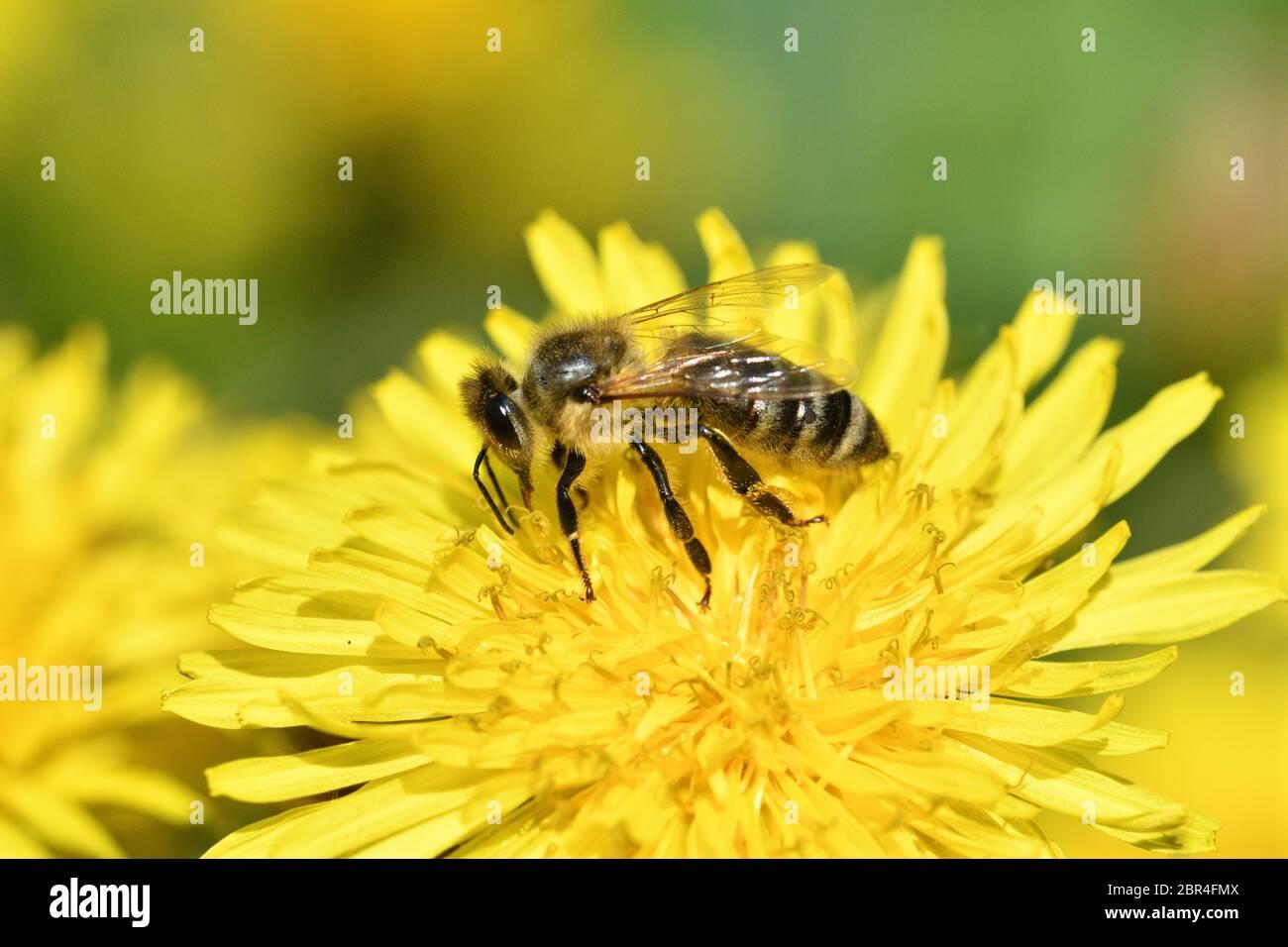 Miel abeja vuela en el diente de león floreciente y recoger polen macro Foto de stock