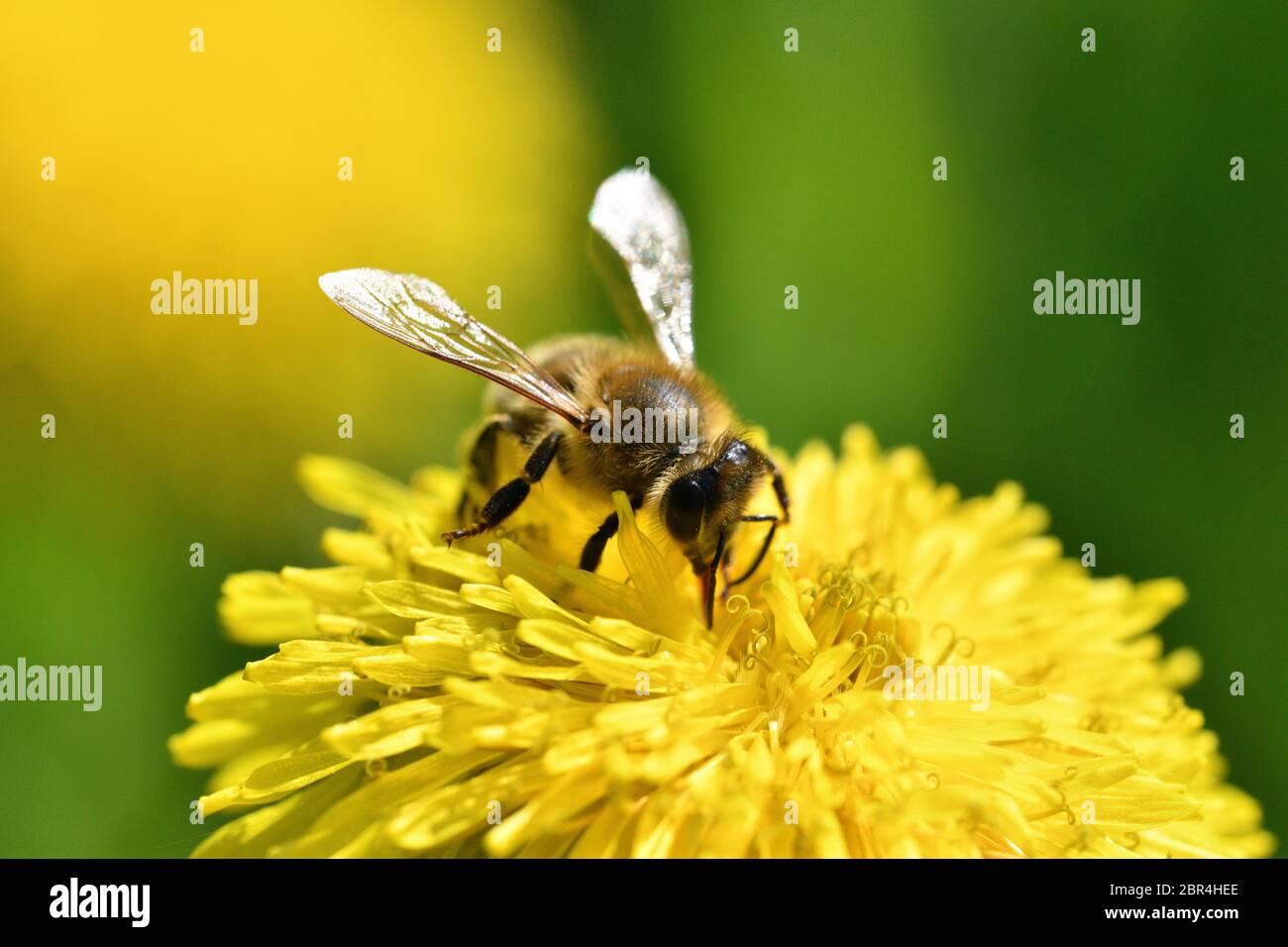 Macrofotografía de abeja polinizando diente de león amarillo en flor Foto de stock