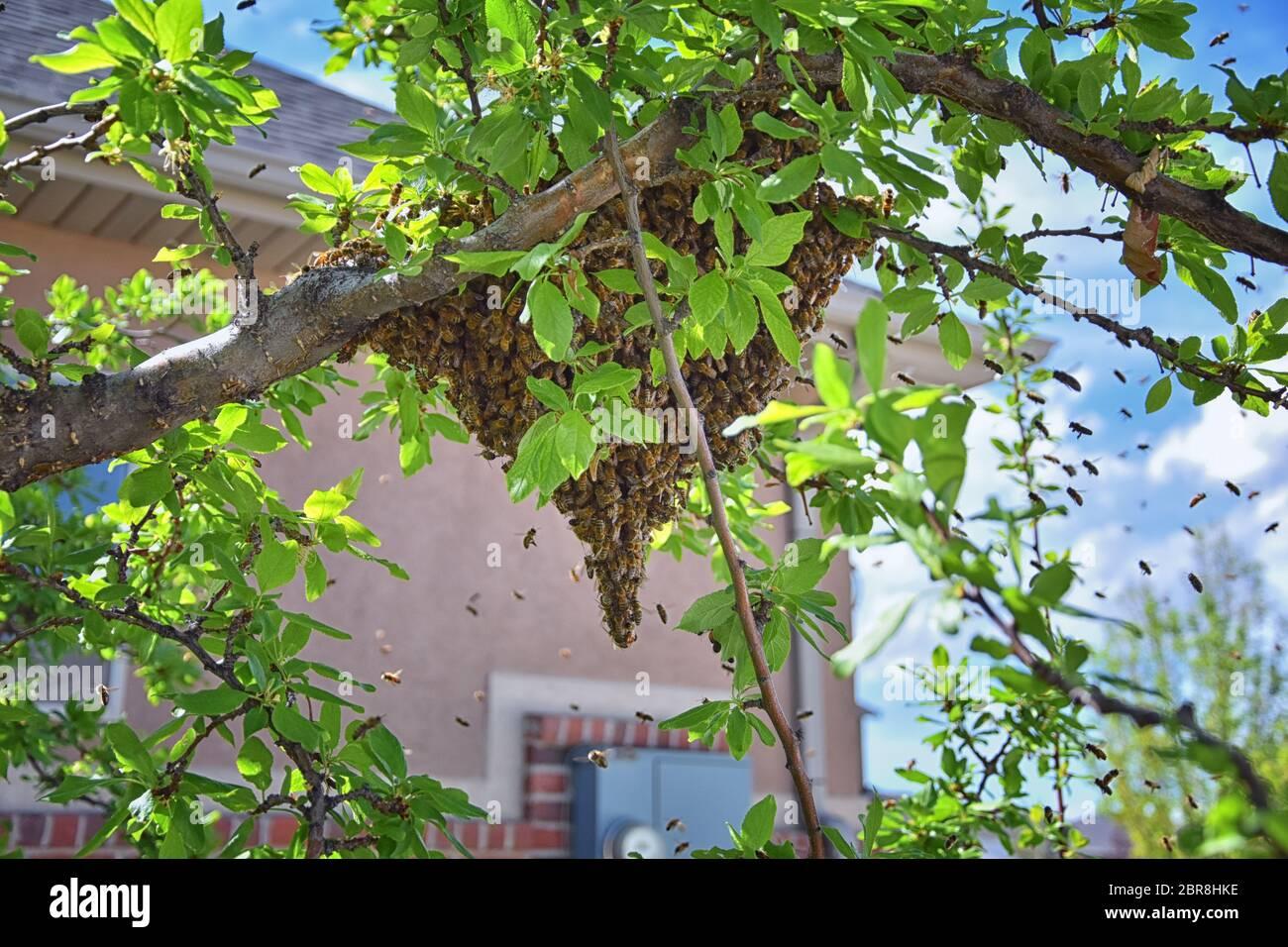 Enjambre de abejas de miel, un insecto eussocial que vuela dentro del género Apis mellifera del clado de la abeja. Enjambre Carniolan abeja italiana en un sujetador de ciruela Foto de stock