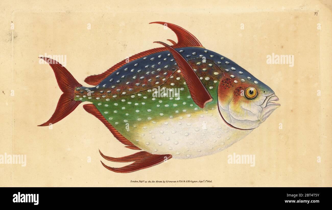 Opah o king fish, Lampris guttatus (Zeus luna). Copperplate Handcolored dibujado y grabado por Edward Donovan desde su historia natural de peces británico, Donovan y F.C. y J. Rivington, Londres, 1802 - 1808. Foto de stock