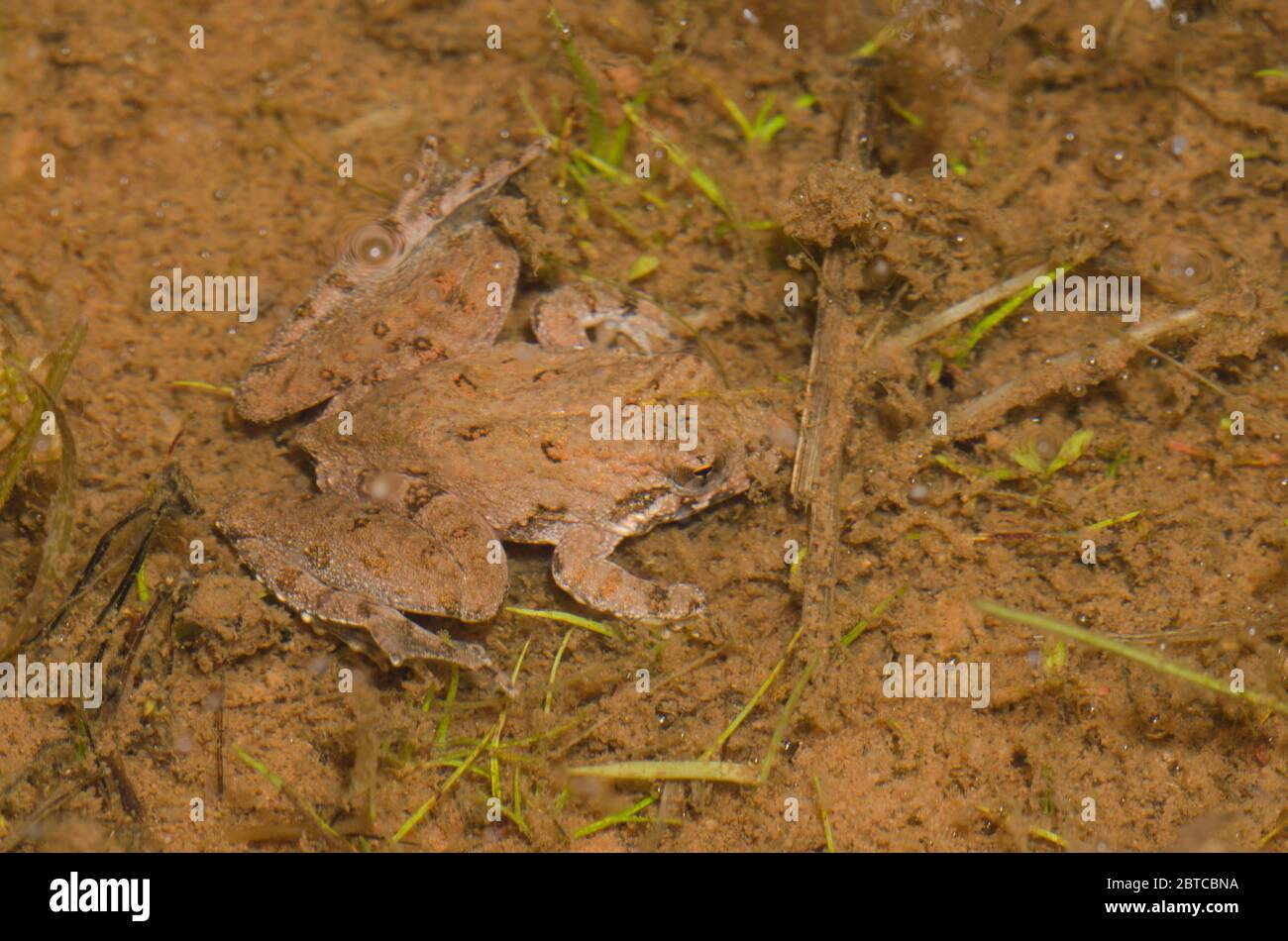 La rana de cricket de Blanchard, Acis blanchadi, sumergida bajo el agua Foto de stock