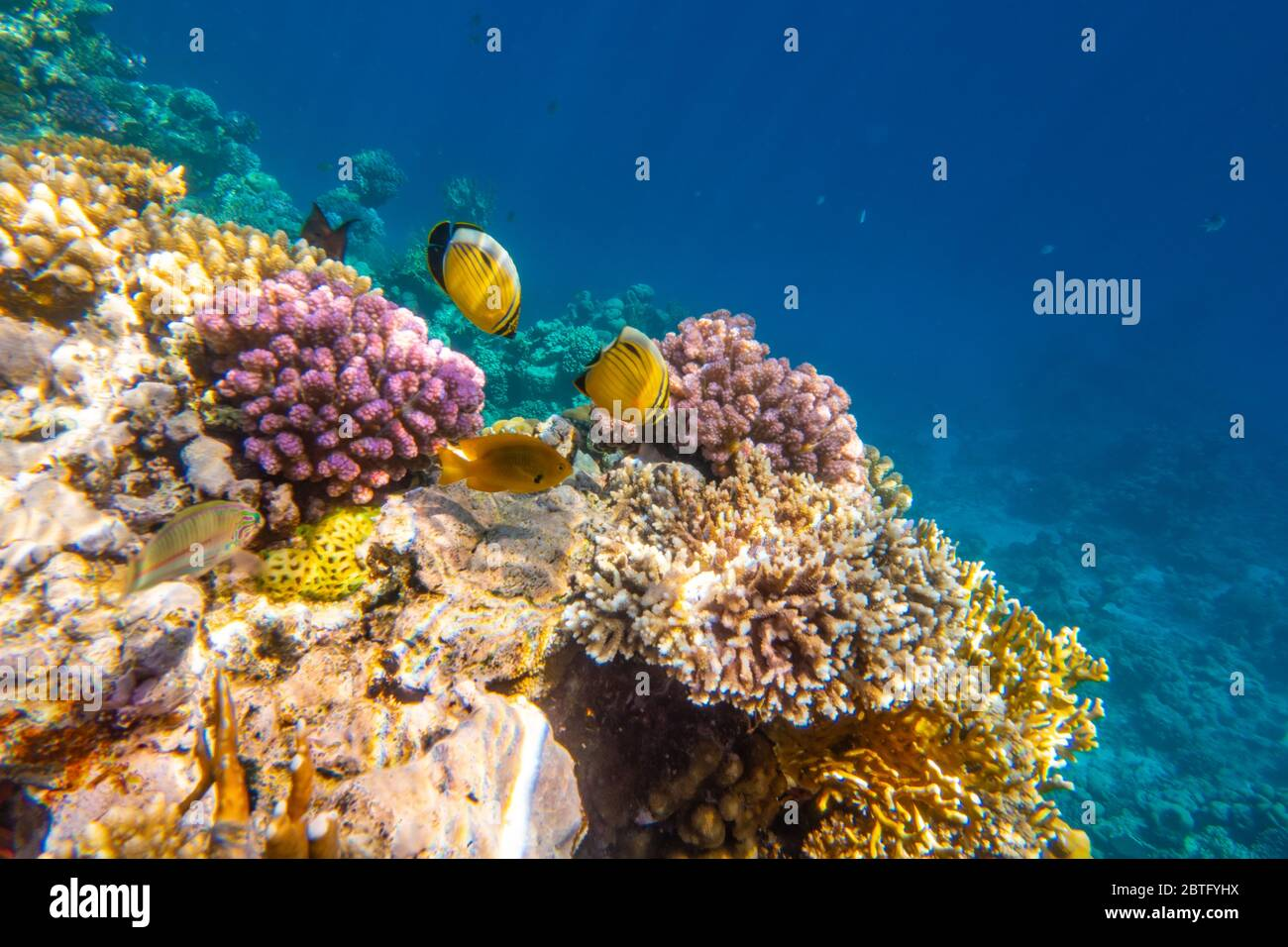 Peces tropicales en arrecifes de coral en el Parque Nacional Ras Mohammed, Egipto Foto de stock