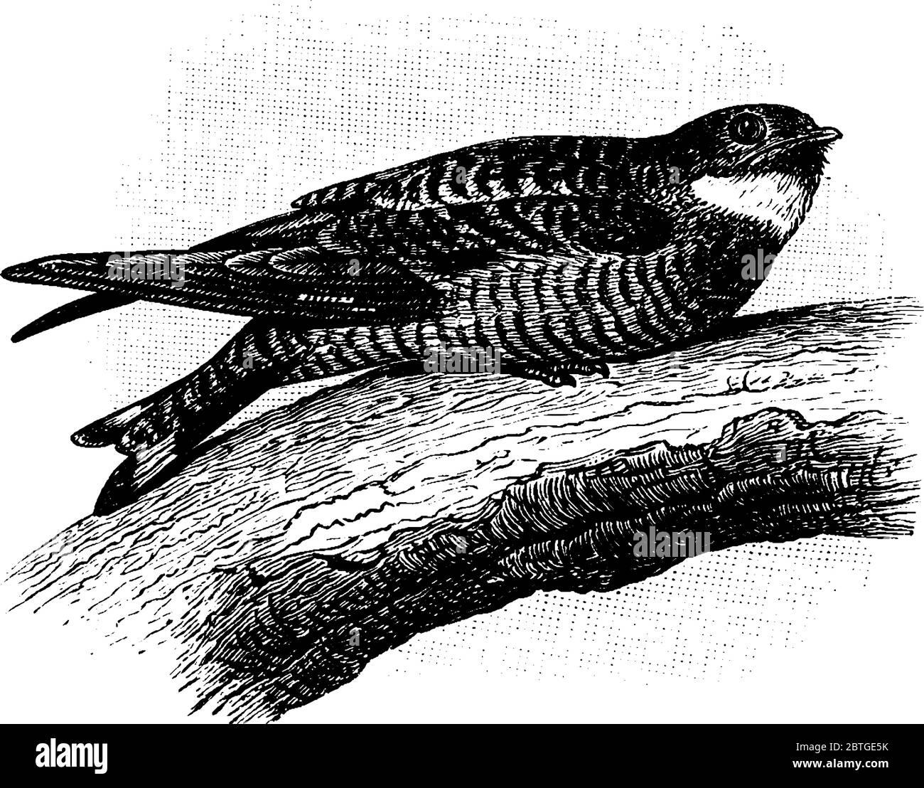 Un nighthawk es un ave nocturna de la subfamilia Chordeilinae, con alas largas, piernas cortas y cuentas muy cortas. Generalmente, estas aves anidan en el Ilustración del Vector
