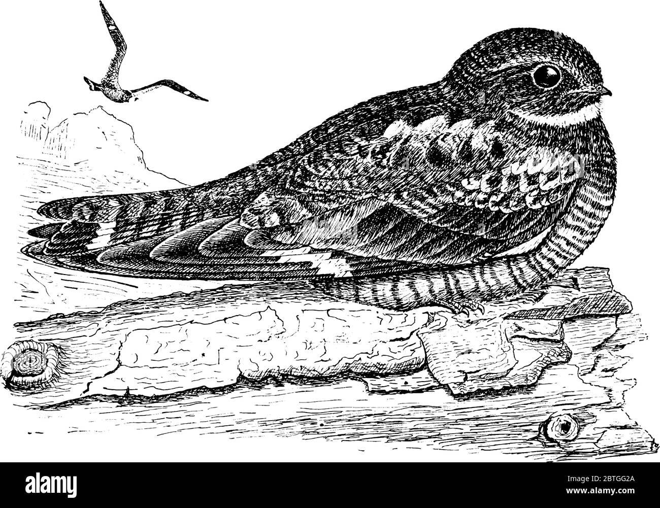 Nighthawk, con alas largas, piernas cortas y cuentas muy cortas que normalmente anidan en el suelo y capturan insectos voladores, sentados en las ramas de la t Ilustración del Vector
