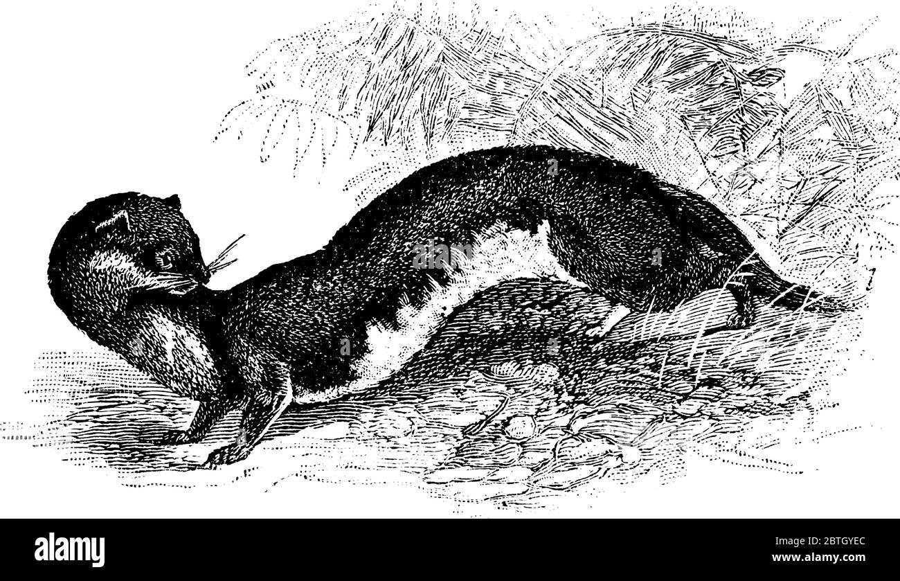 Weasel es un pequeño mamífero carnívoro muy activo que tiene forma de esbelta con piernas cortas, dibujo de líneas vintage o ilustración de grabado. Ilustración del Vector