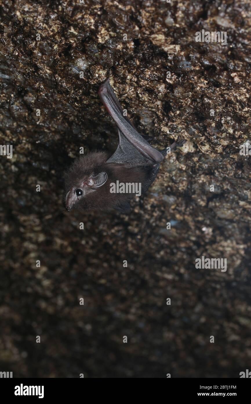 Bat (Emballonura monticola) de menor cola de vaina colgando en una cueva Foto de stock