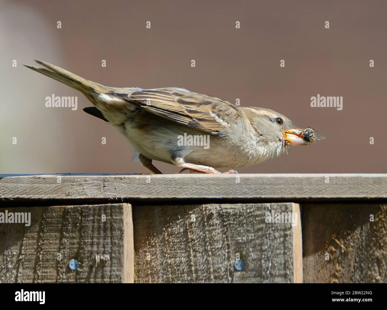 Sparrow (Passer domesticus) hembra en una valla de jardín comiendo una abeja de miel Foto de stock