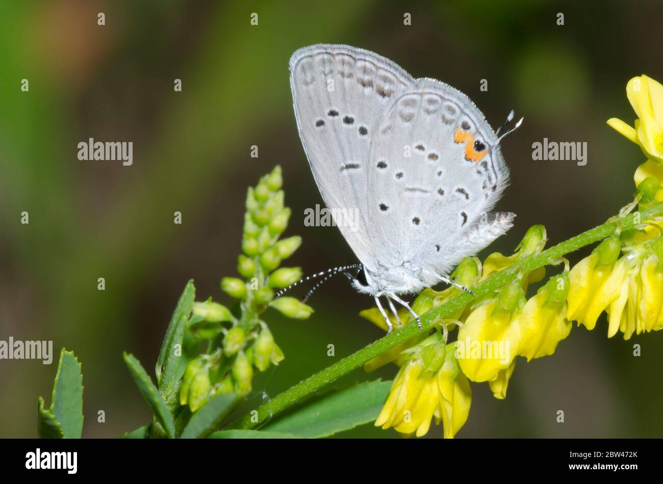 Azul cola oriental, Cupido comyntas, sobre trébol dulce amarillo, Melilotus officinalis Foto de stock