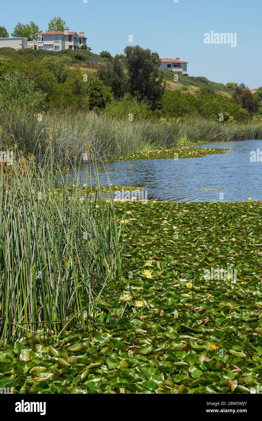 Masas de lirios de agua y de corridas de toros de California a lo largo del borde del Lago San Marcos, California, con varios apartamentos en la ladera con vistas al lago. Foto de stock