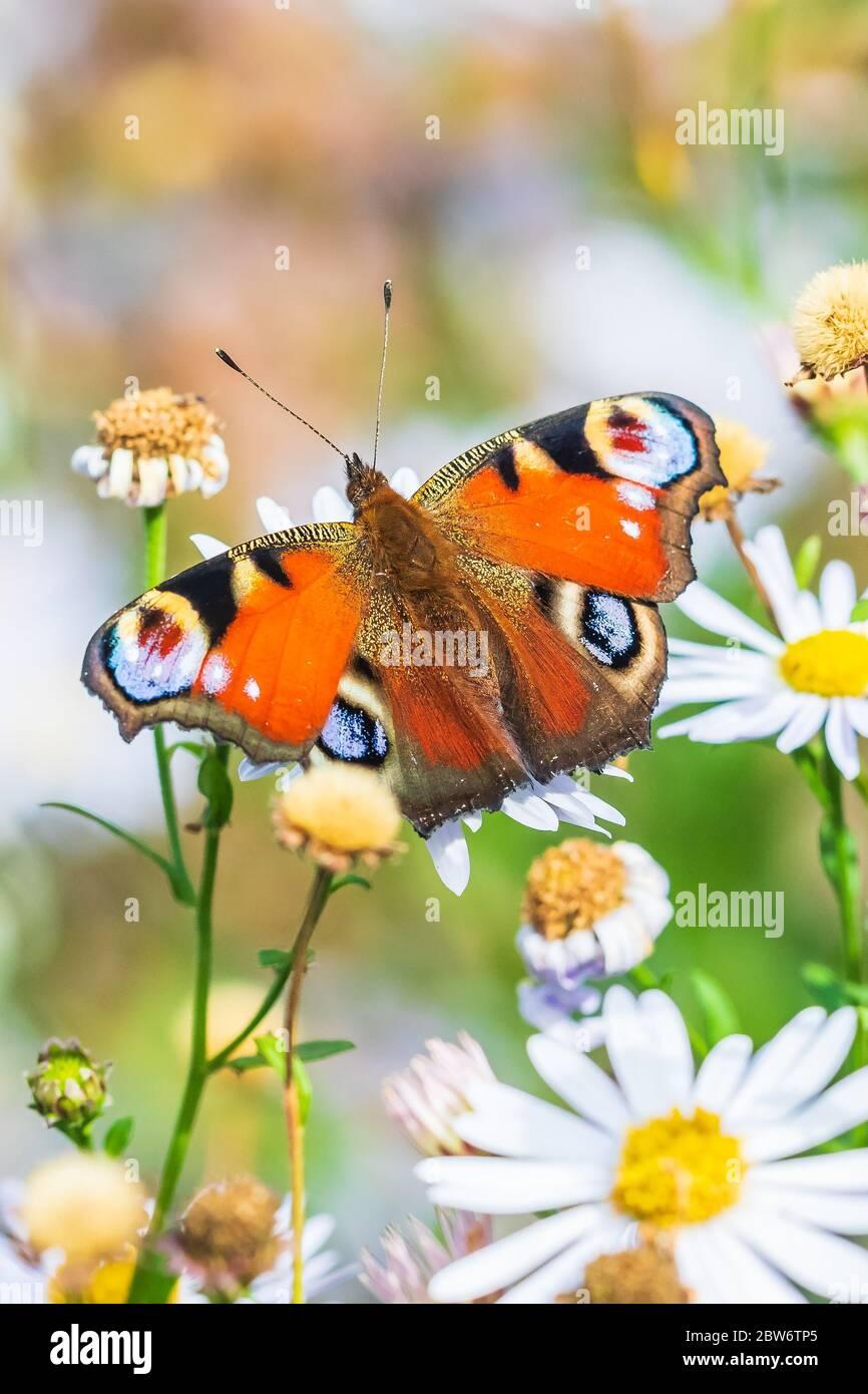 Aglais io, polinizando mariposa pavo real y alimentándose de flores blancas en una pradera. Foto de stock