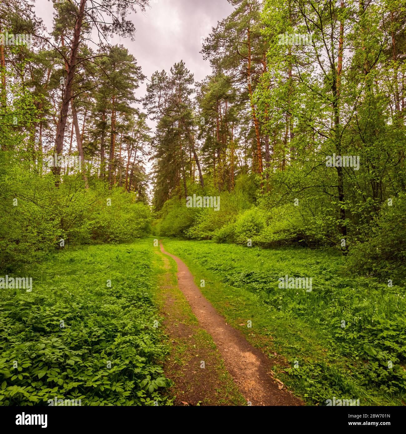 Bosque de pinos primaverales en clima nublado con arbustos con follaje verde joven y un camino que va a la distancia. Foto de stock