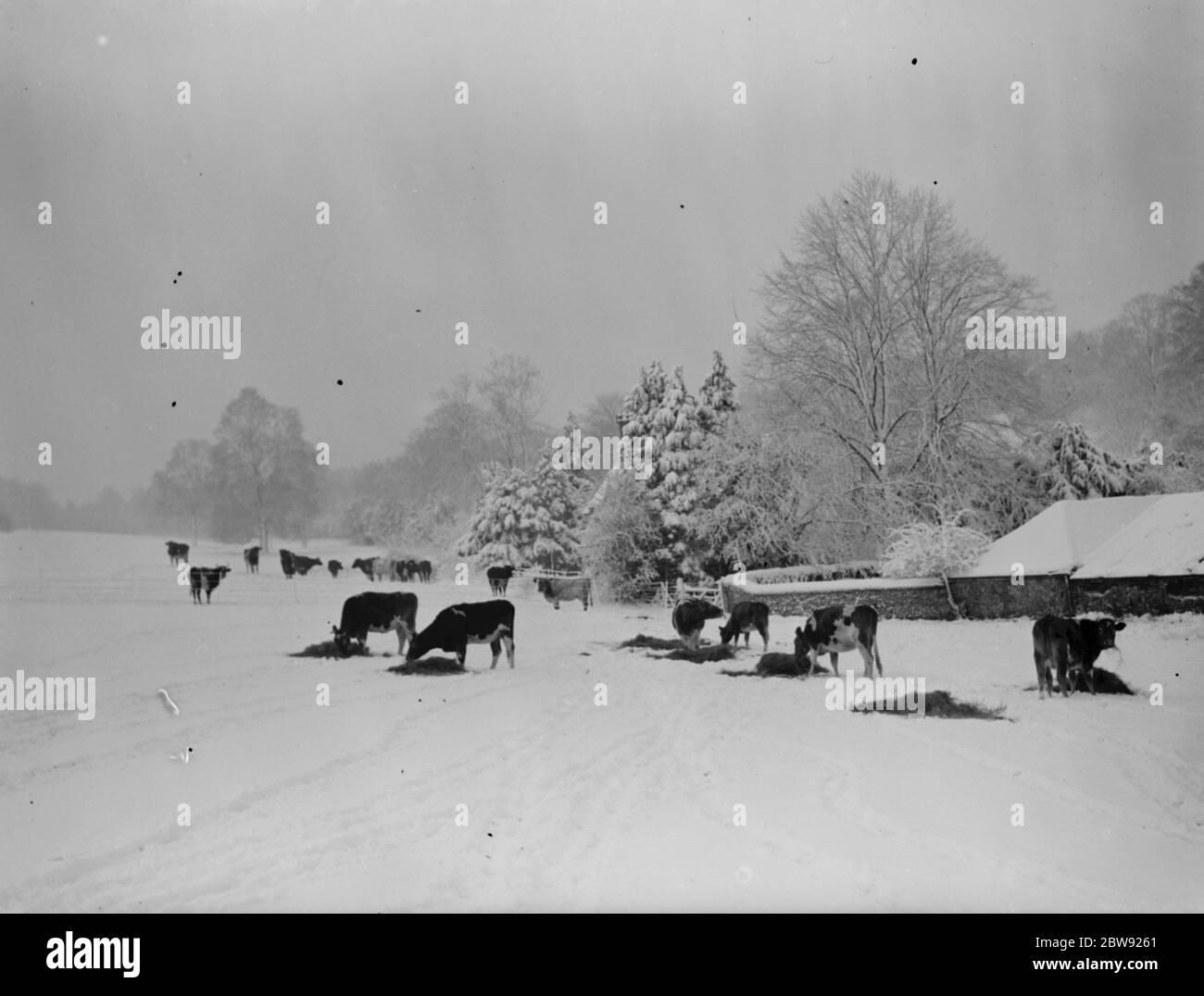 Escena de nieve en Downe, Kent . Alimentación del ganado . 1939 Foto de stock