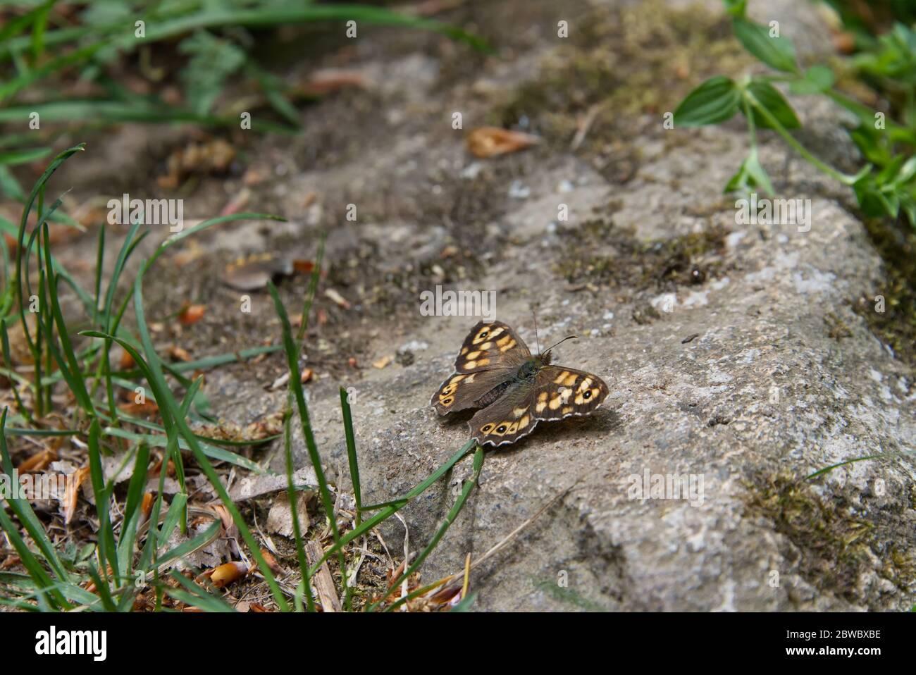 Mariposa con alas de color marrón aterrizó en una superficie de piedra, Papilionoidea familia insecto Foto de stock