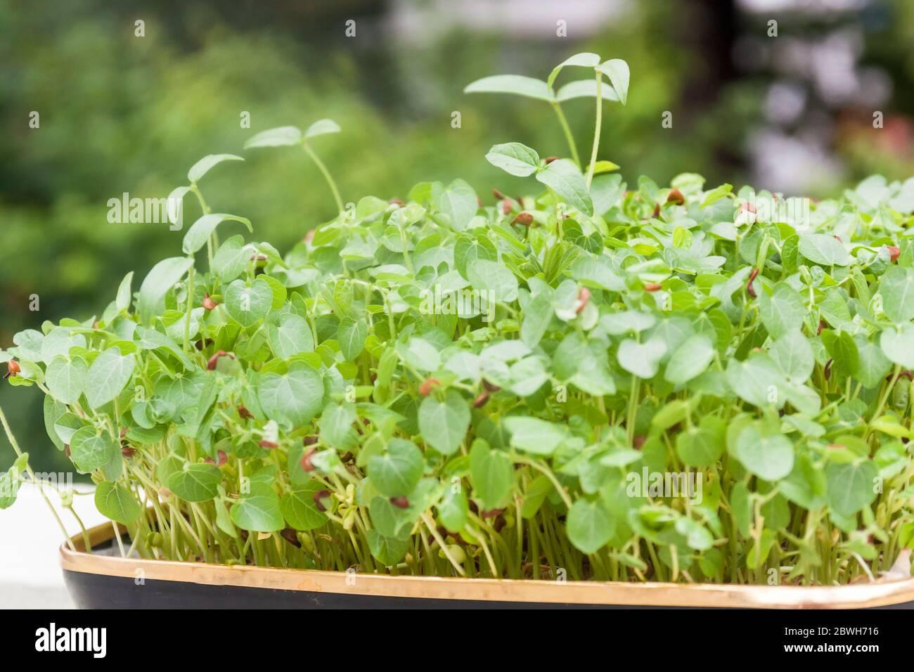 Vista lateral de brotes creciendo en una bandeja de fondo natural y luz. Concepto de micro greens Foto de stock