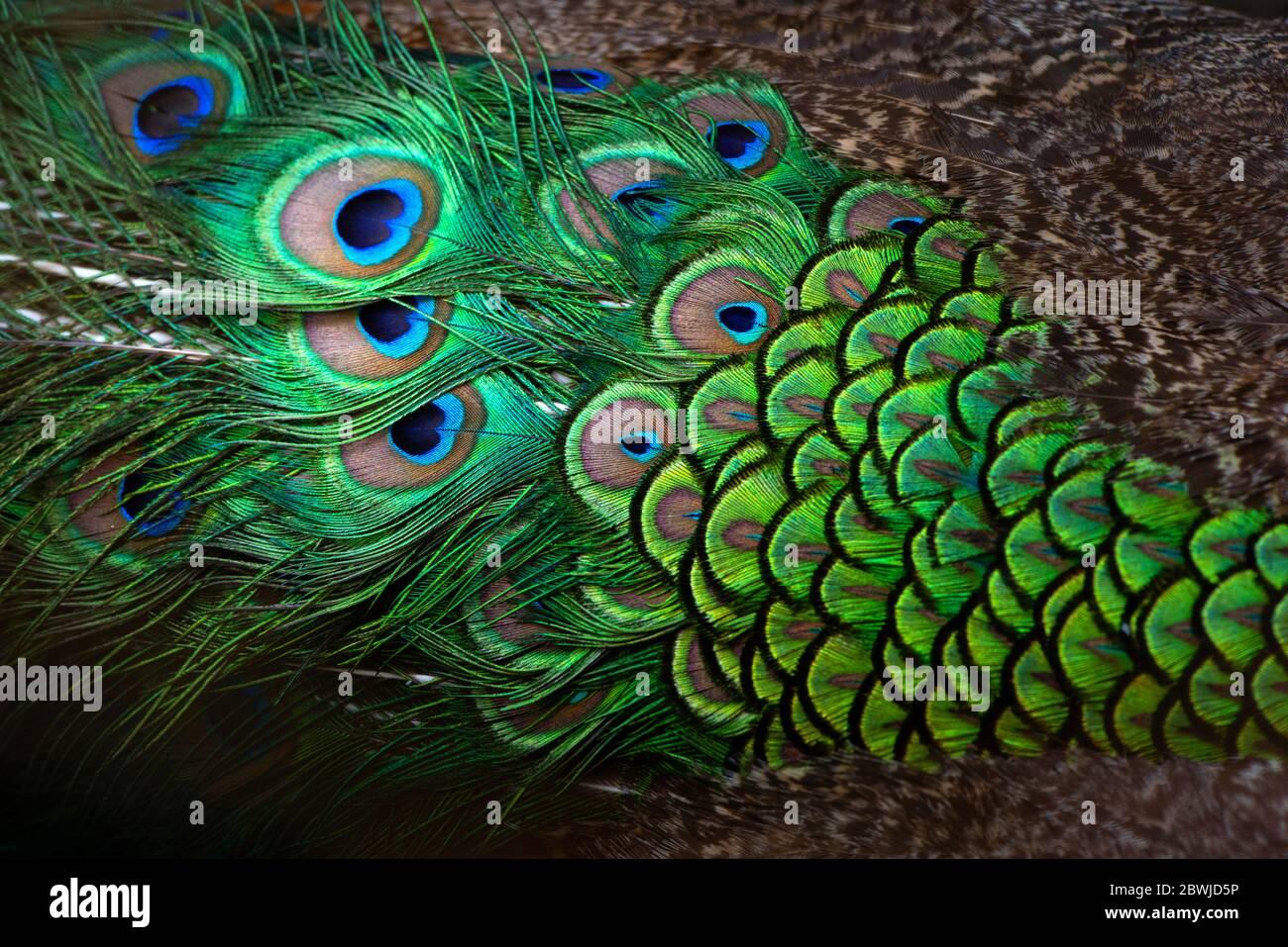 Primeros planos Peacocks, detalles coloridos y hermosas plumas de pavo real.Fotografía macro. Foto de stock