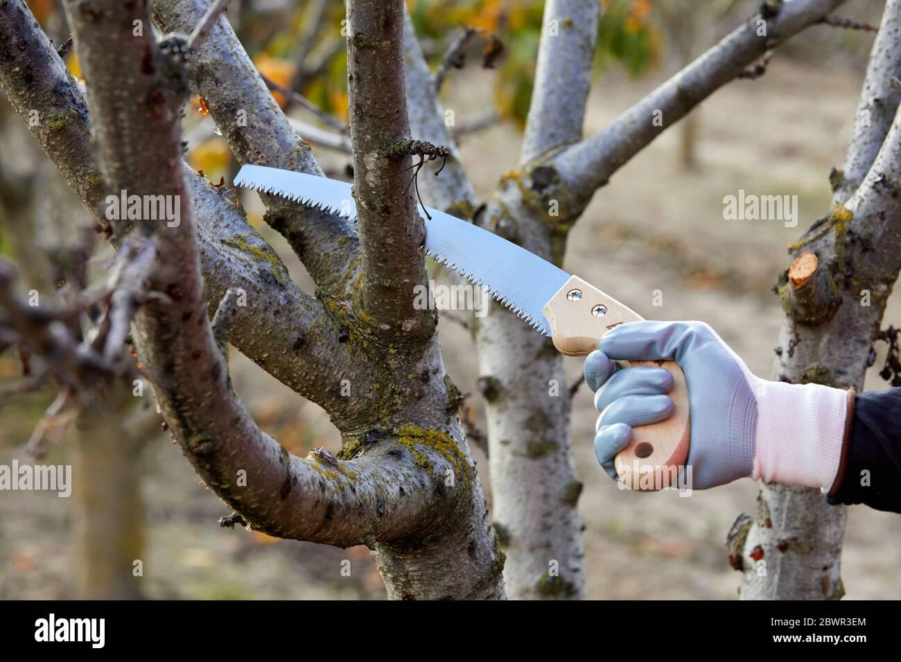 Agricultor podadora de árboles frutales con sierra de poda, campo Agropecuario, Calahorra, la Rioja, España, Europa Foto de stock