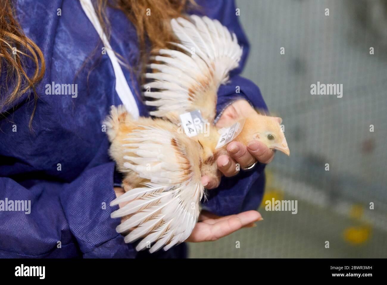Investigación animal, aves, Chicken farming, Araba, país Vasco, España Foto de stock